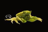 Interesting Inverts – Emerald Crabs (Mithraculus sculptus)