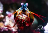 The Colorful Clown Mantis Shrimp