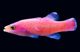 The Pink Cave Basslet: A reclusive and lesser seen Liopropoma species