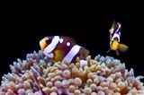 Pairing Anemones and Clownfish in the Home Aquarium