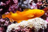 The Yellow Lycopod / Dusky Brotulid
