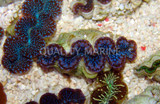 Giant Clams Identification 101