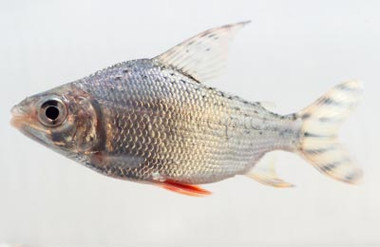 Flagtail Redfin :: 7590001