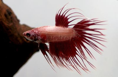 Male Crowntail :: 8100025