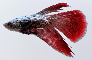 Male Longfin Dragon Scale Mixed Color :: 8100160