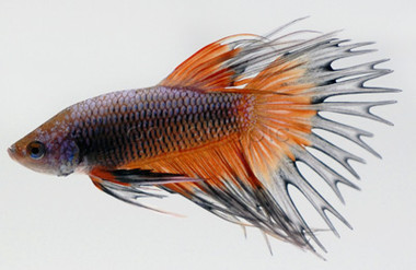 Male Crowntail  Dragon Scale :: 8100210