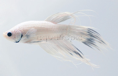 Male Crowntail  White :: 8100220