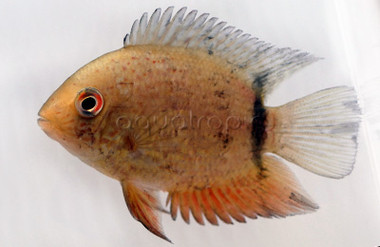 Severum, Red Spot Turquoise :: 8183190