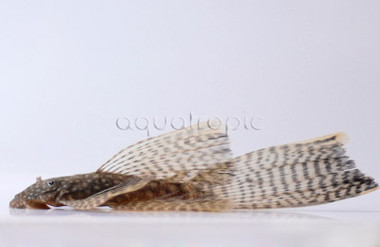 Bushy Nose Sailfin :: 8580120