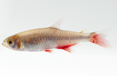 Bloodfin :: 8710315