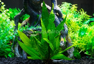 Java Fern (rooted) :: 8802330