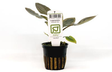 Lagenandra meeboldii 'Red' (potted) :: 8845908