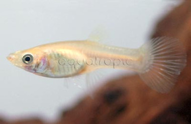 Endler's Gold Female :: 8335310