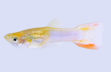Double Sword Yellow & Blue Male :: 8330840