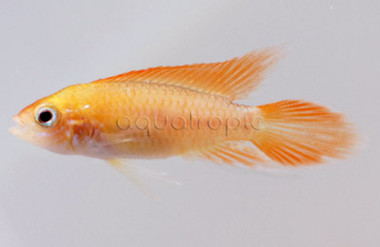 Dwarf Agassizii Flame Red :: 8183570