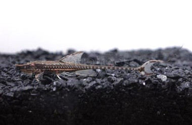 Long Nose Whiptail :: 8173150
