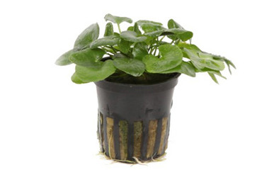 Nymphoides hydrophylla 'Taiwan' (potted) :: 8845228