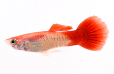 Cobra Blond Red Tail Male :: 8330056