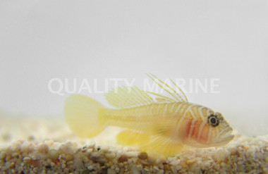 Yellow Priolepis :: 18632
