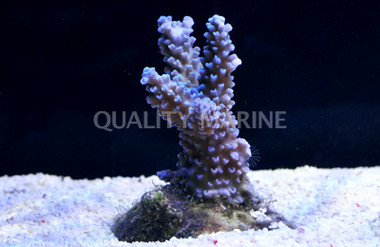 A. grandis Turquoise w/Blue Tips :: 66232
