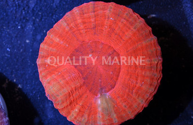 Australis, Solid Molten Red :: 52322