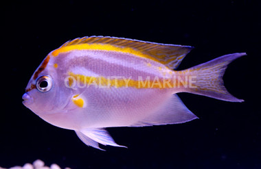 Bellus Yellow Male :: 10009