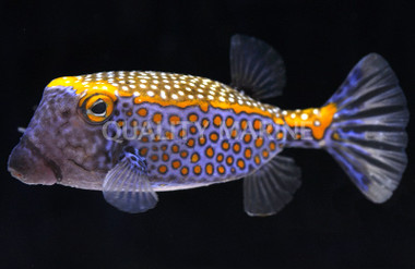 Boxfish, Blue :: 33002