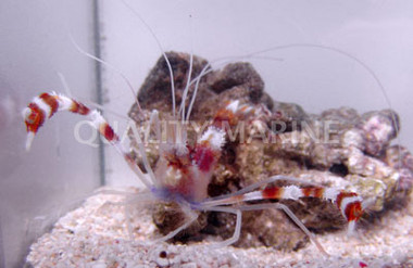 Coral Banded Pair :: 57504