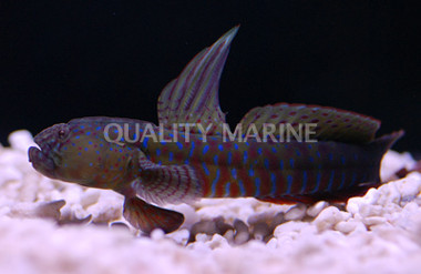 Crested Oyster :: 18560