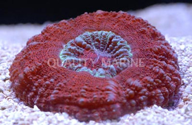 Crocodile Red Scoly :: 52472
