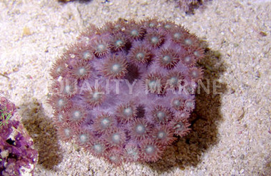 Cup Large Polyp :: 52020