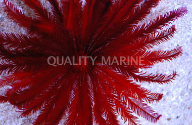 Feather Blood Red Sea Lilly :: 59045