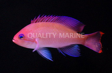 Female Stocky Pink :: 11020