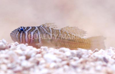 Half-barred goby :: 18717