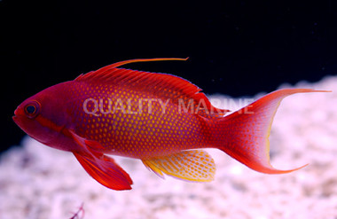 Lyretail, Red Male Yellow Breast :: 11040