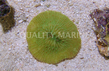 Plate Solid Green Short Tentacle :: 52116