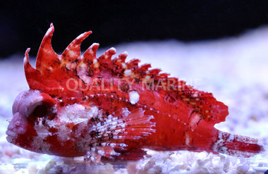 Pygmy Red Rooster Waspfish :: 28043