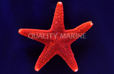 Red Fromia :: 59026