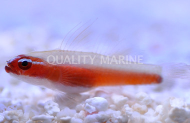 Red Neon Pygmy :: 18629