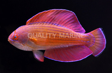 Red Sea Eightline Flasher Male :: 33776