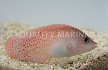 Red Spotted, Male :: 26027
