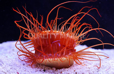Scallop Flame Electric :: 56512