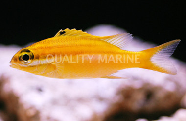 Two-Lined Monocle Bream :: 30009