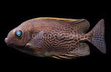 Vermiculated Spinefoot :: 27018