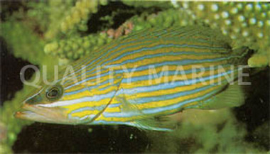 White Lined Rock Cod :: 19037