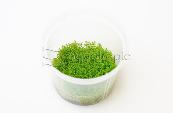 Hemianthus callitrichoides Tray :: 8805100