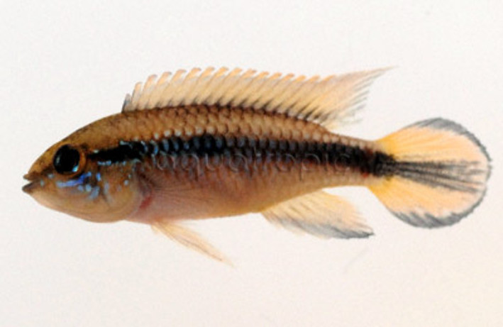 Dwarf Agassizii Double Red :: 8183040