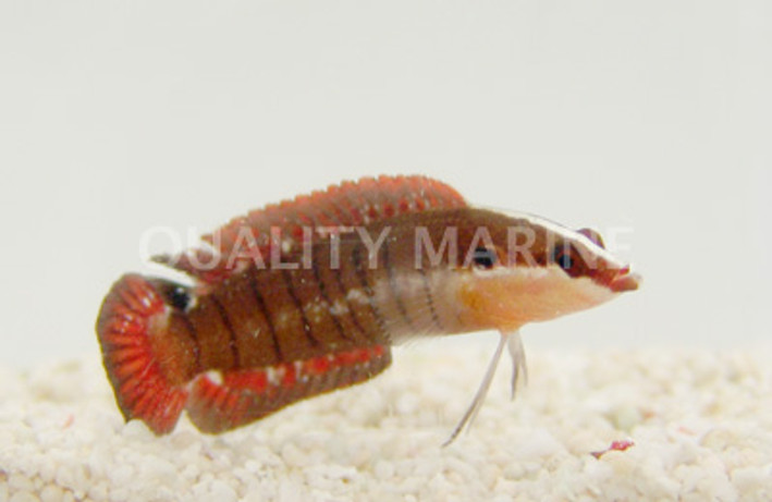 Banded Longfin :: 26026
