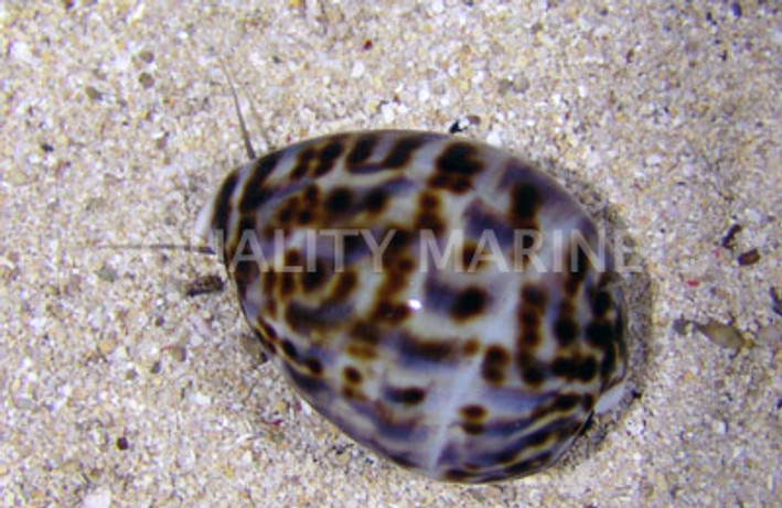 Cowrie, Tiger :: 57009