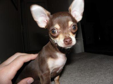 What Is a Teacup Chihuahua? - Puppy Stairs